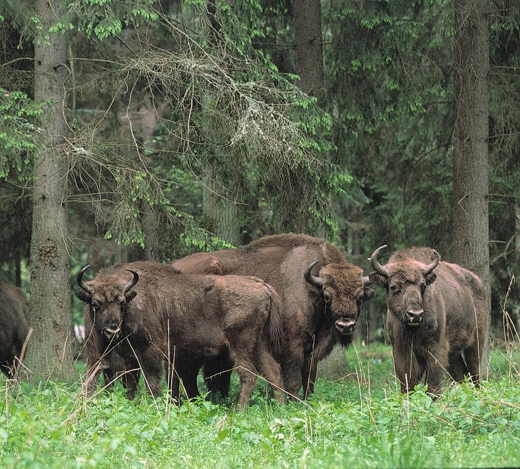 El Bosque de Białowieża en Polonia, el último bosque virgen de Europa BIS%C3%93%20EUROPEU%20POL%C3%92NIA